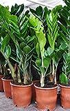 Palmenmann Zamioculca (Glücksfeder) - Zamioculcas zamiifolia