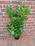 10 Kirschlorbeer Pflanzen, Prunus Novita, Höhe: 70-80 cm ab Topfoberkante