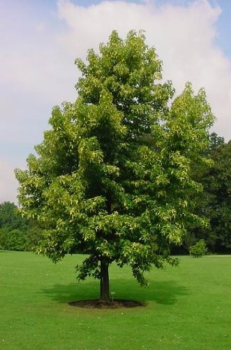 Amberbaum 60 - 100 cm