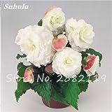 Nueva Balcón de la planta 20 de las PC coloridas Semillas Begonia flor rara Rose Rieger begonia begonia de flor de interior Plantas para el jardín Bonsai 9