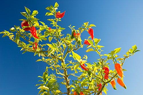 Bhut Jolokia Red – ca. 50 Samen – Pflanze Trägt Extrem Scharfe Chili – Für Die Anzucht Zu Hause – Chilis Mit Bis Zu 1 Million Scoville