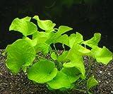 WFW wasserflora Nymphoides sp. Flipper' ('Taiwan') / Mini-Seerose aus Taiwan