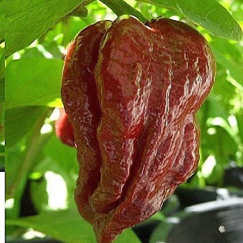 Portal Cool 5 X Chili Trinidad Douglah 7 Pot Schokoladen Version Seeds - - B925