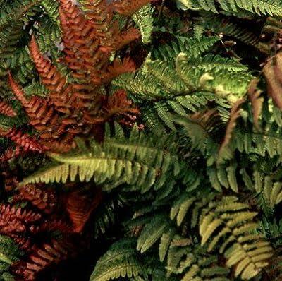 lichtnelke - Rotschleier- Farn / Dryopteris erythrosora von Lichtnelke Pflanzenversand - Du und dein Garten