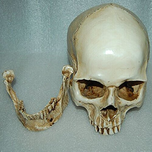 MagiDeal Lifesize 1:1 Human Skull Replica Resin Model