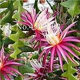 Vente! 120 pcs Succulent Africaine Mixte Cactus Fleur Bonsai SeedssPlant Accrobranches Purifier Air Bonsai dans la Chaleur résistant: 9...