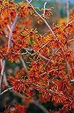 Orange Zaubernuss Aphrodite - Hamamelis intermedia Aphrodite - gelb-orange leuchtend