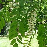 Robinia pseudoacacia - Robinia - Spg - Semi