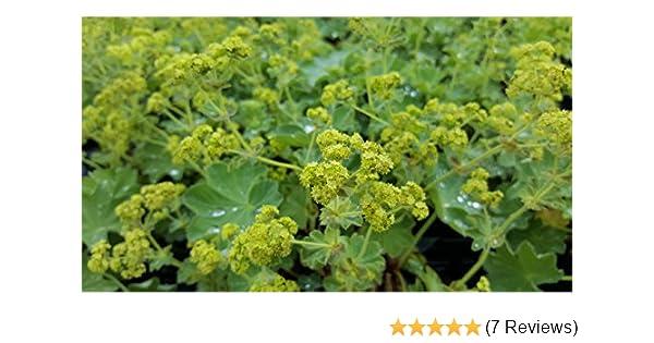 Frauenmantel Alchemilla mollis gelb Bodendecker Staude im 0,5 Liter Topf