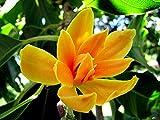 #3: SHOP 360 LIVE ORANGE MICHELIA CHAMPA SON FLOWER LIVE PLANT - 1 HEALTHY LIVE PLANT