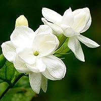 20pcs Pack Jasmin Blumen Samen Weisse Duftende Pflanzliche