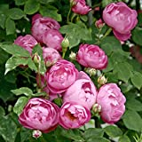 'Raubritter', Kletter-/Rambler-Rose im 4 L Container