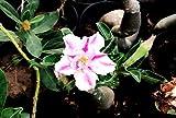 #3: Raj Garden Plantsadenium Live Flower Plant, Desert Rose,