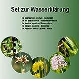 FOSA Planta Juego compuesto de 5plantas de agua–agua profundidad 0–40cm–En Macetero