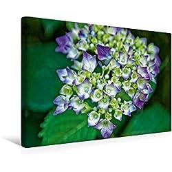 Calvendo Premium Textil-Leinwand 45 cm x 30 cm Quer, Gartenhortensie (Hydrangea macrophylla) | Wandbild, Bild auf Keilrahmen, Fertigbild auf Echter Leinwand, Leinwanddruck Natur Natur