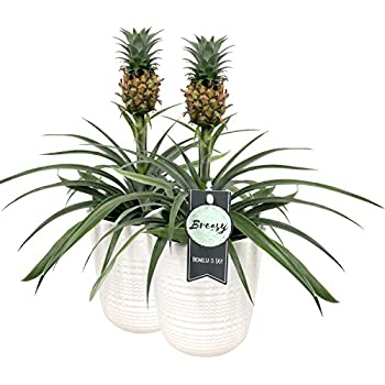 Pineapple Plant with Pineapple Fruit Growing in a 12cm Pot