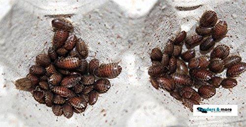 100-kleine-waldschaben-schaben-in-1-dose-praktisch-verpackt-futterinsekten-futtertiere