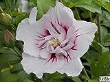 Garteneibisch - Hibiscus syriacus - China Chiffon -R- - gefüllte Blüten - winterhart - 40-60 cm