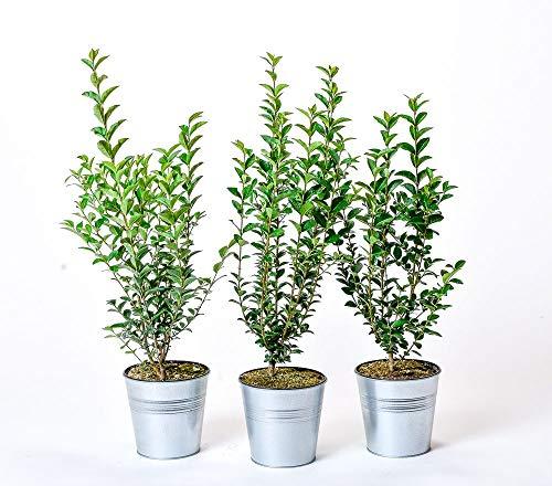 Pflanzmich Atrovirens Liguster 60-100 cm im 3 Liter Container, Laubfarbe: grün, glänzend, Blütenfarbe: creme-weiß
