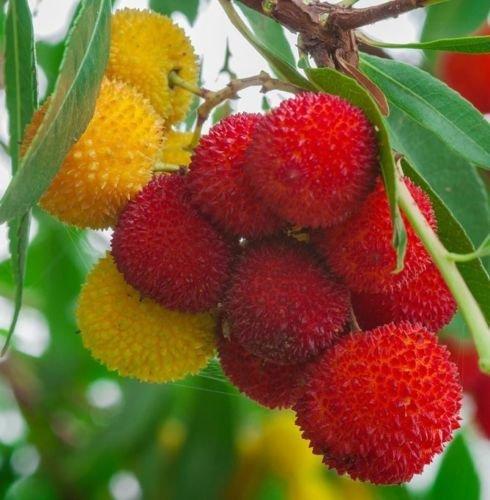 Arbousier, Arbutus unedo fruits exotiques rares floraison madroño graines 15 graines