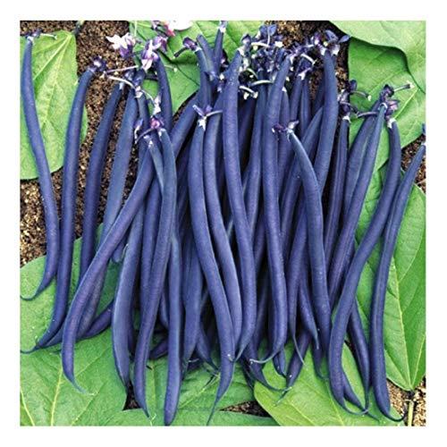 Buschbohne – Purple Queen – 30 Samen