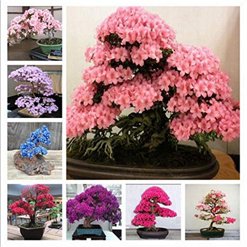 CIOLER Seed House - 100pcs MIX Sakura Semillas Cerezo Rojo Japonés Escarificadas Bonsai - Ornamental