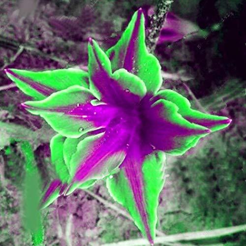 Tomasa Samenhaus- Raritäten 50 stücke Kräuterpflanzen Saatgut Lisianthus Eustoma Blumen pflanzen Samen Selten Zierpflanzen Bonsai winterhart mehrjährig für Balkon, Garten