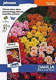 johnsons seeds - Pictorial Pack - Fiore - Dalia Bronze Foglia Mix - 40 Semi