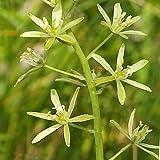 Plant World Seeds - Ornithogalum Pyrenaicum Seeds