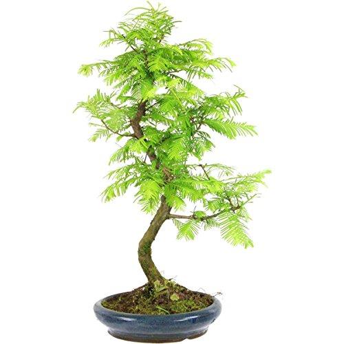 metasequoia-bonsai-10-ans-45cm