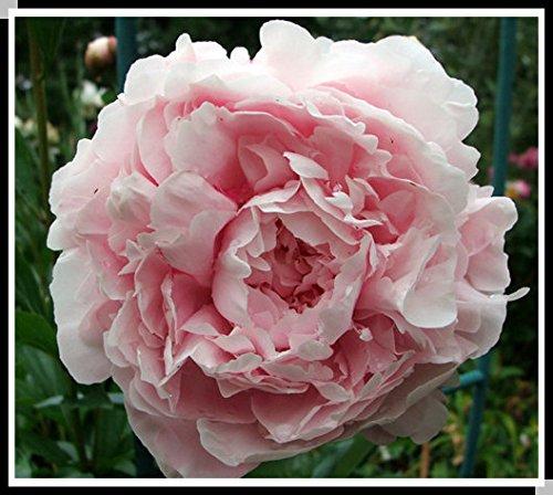 15pcs / peonia semi. Peonia Suffruticosa 12 colori semi di fiori bonsai da interno di semi di fiori casa pianta da giardino peonia
