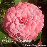 Kamelie 'Mrs. Tingley' - Camellia japonica, Grupo de precio:6