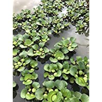 Plentree Planta de Jacinto de Agua - Flor de la Planta de la charca de Koi