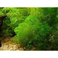1 Federal Limnophila aquatica, Giant Ambulia - Plantas de acuario