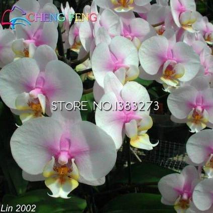 Vente chaude! Phalaenopsis Seeds Plantes vivaces à fleurs en pot Fleurs de charme de semences, 50 pcs / sac, plante très facile Windowsill