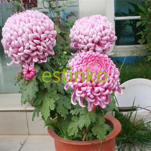 50pcs / lot Mix-couleurs chrysanthème Graines Bonsai Graines belles graines de fleurs de bricolage vivace jardin des plantes
