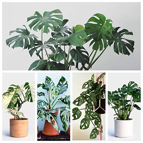 Portal Cool Obliqua: 100Pcs Monstera Bonsai Garden Seeds Schöne Schildkröte Blätter Baum Pot Palm Blume