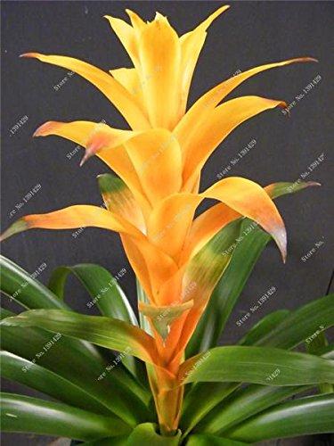 50pcs nouvelles broméliacées géantes, rares Tehuacan broméliacées graines de cactus juteuses, fleurs turquoise vibrant bonsaï pour la maison jardin