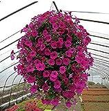Blumensamen Pflanze hängen Petunie Samen Balkon -600 pcs