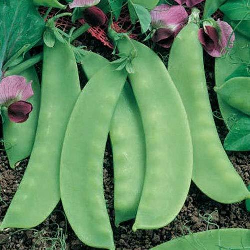 """Zuckerschote/Zuckererbse""""Carouby"""" 30 x Samen aus Portugal 100% Natur/Massenträger ideal zum Schmoren, Anbraten und im Salat"""