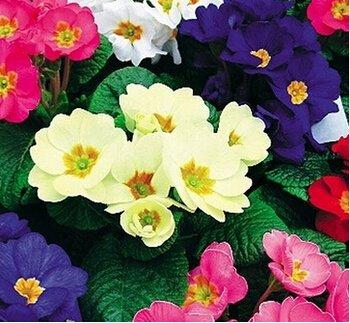 50 pièces / sac 12kinds de graines de Primula, graines de bonsaï pour plante de jardin, intérieur et graines de fleurs en plein air, Big Promotion Seulement pour vous