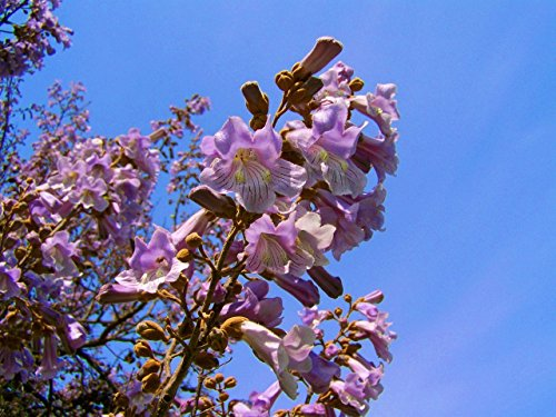 Paulownia elongata New Waldbaumsamen, 200seeds / pack schnell wachsender Baum