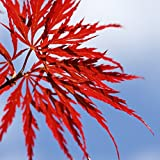 Blutfächerahorn (Roter Fächerahorn) - Acer palmatum atropurpureum - Samen
