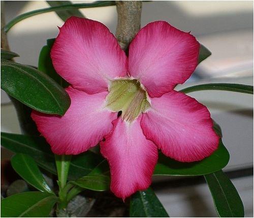 Seedeo Lot de 8 graines d'Adenium Obesum Rose du désert