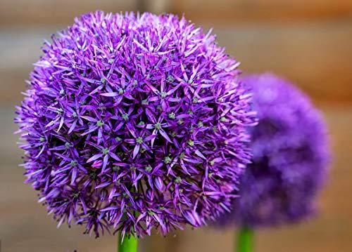 Riesige Allium Giganteum Zwiebelblumensamen, traumhafte rosa Blume für Garten Frühlings-Pflanzendekoration, 50 Stück - Blau/Violett
