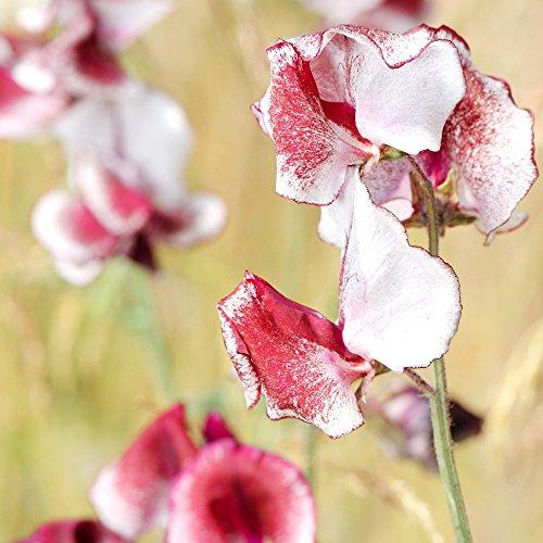 Sweet Pea Butterfly Mix Samen - Lathyrus odoratus - 36 samen