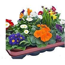 Blumen-Box, Primeln Bellis Zwiebel Mix bunt