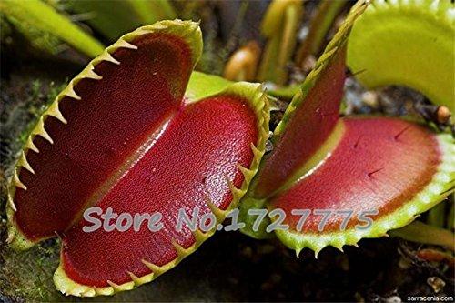 Shopmeeko Nouvelle arrivée Accueil Jardin 20 plantes PiÚge à mouches Vénus Dionaea Muscipula Plantes plantes carnivores Livraison gratuite Diy Plant Semente: Noir