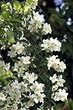 Philadelphus 'Belle Etoile', Gartenjasmin 'Belle Etoile' - Kräftige Pflanzen im 5lt Container