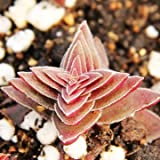 40pcs Crassula Corymbulosa Seeds Succulent Plants Potting